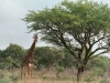 CADSAC Dive Club-giraffe2-hluhluwe-reserve-aug2002