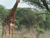 CADSAC Dive Club-giraffe3-hluhluwe-reserve