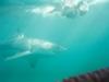 CADSAC Dive Club-great-white3-aug2002