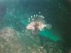 CADSAC Dive Club-lionfish-aug2002