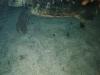 CADSAC Dive Club-turtle-aug2002