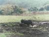 CADSAC Dive Club-white-rhino-abd-calf-hluhluwereserve-aug-2002