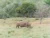 CADSAC Dive Club-white-rhino-hluhluwe-reserve-aug2002