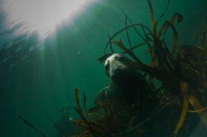 Seals Diving FarnesIslands